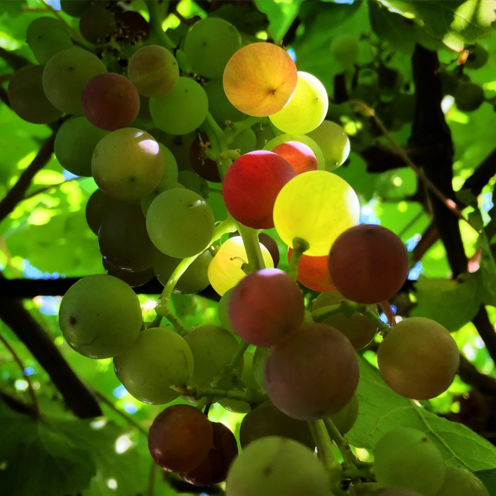 Organic grapes ripening on a vine