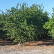 almond-tree-08